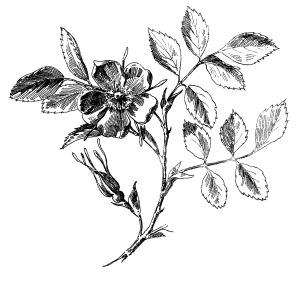 Rose-EngravingGraphicsFairy1