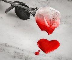 blutende_rose